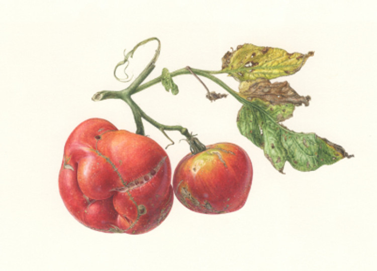 Solanum lycopersicm, Dancing Duo 34-A, Portrait of an Heirloom Tomato, watercolor by Asuka Hishiki, © 2016, all rights reserved.