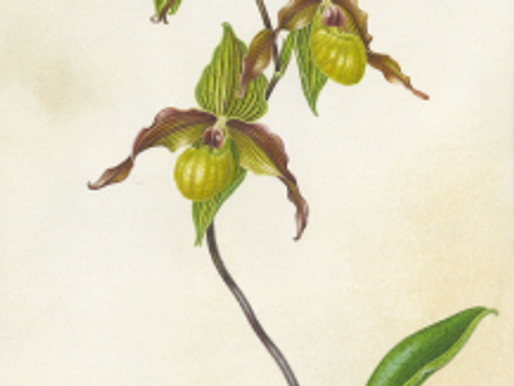 """Spaces are still Available in Carol Woodin's BAGSC Workshop, """"Painting Orchids on Vellum"""