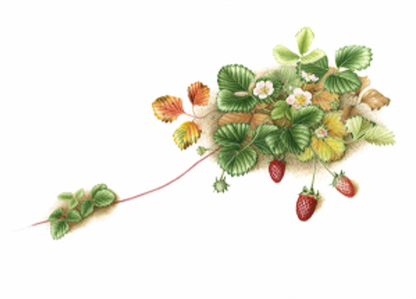 """""""Fragaria x ananassa 'Fragoo Pink',"""" Strawberry, watercolor by Mitsuko Schultz, © 2013, all rights reserved."""