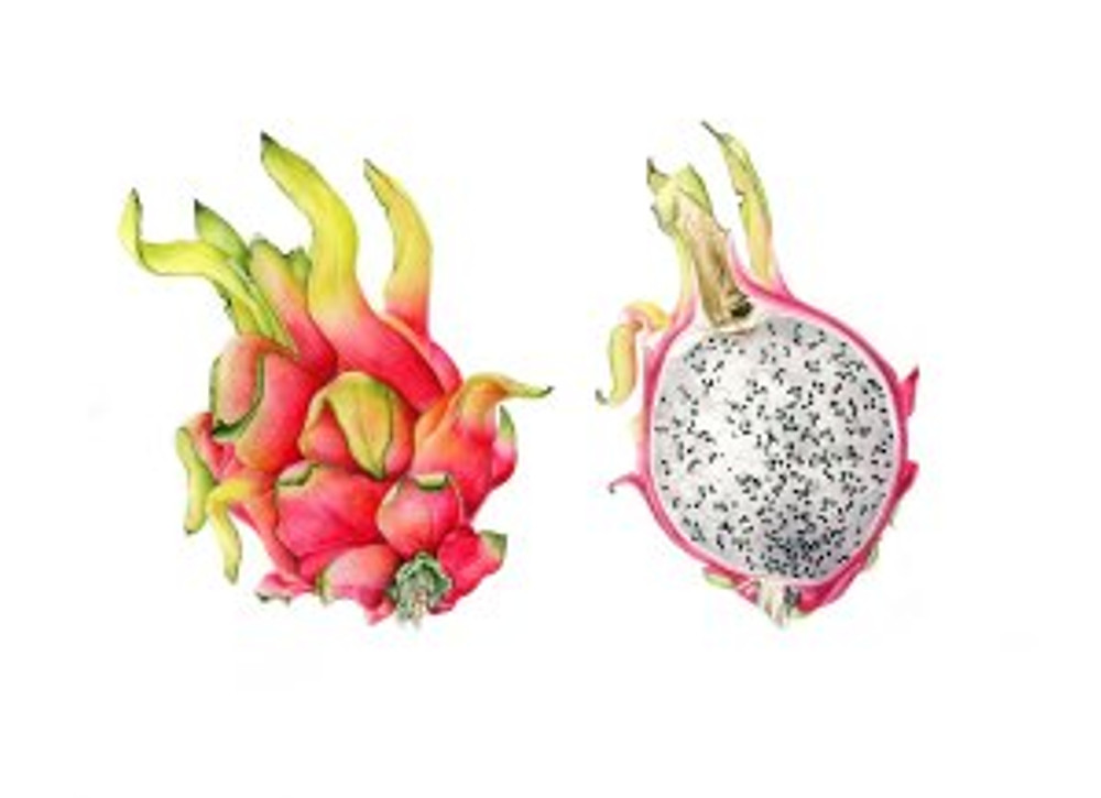 Hylocereus undatus pitahayas, Pitaya or Dragon Fruit, watercolor by Diane Nelson Daly, © 2016. The dragon fruit is the fruit of a cactus species indigenous to the Americas. The fruit is sweet and crunchy with a flavor that is a cross between kiwi and pear.