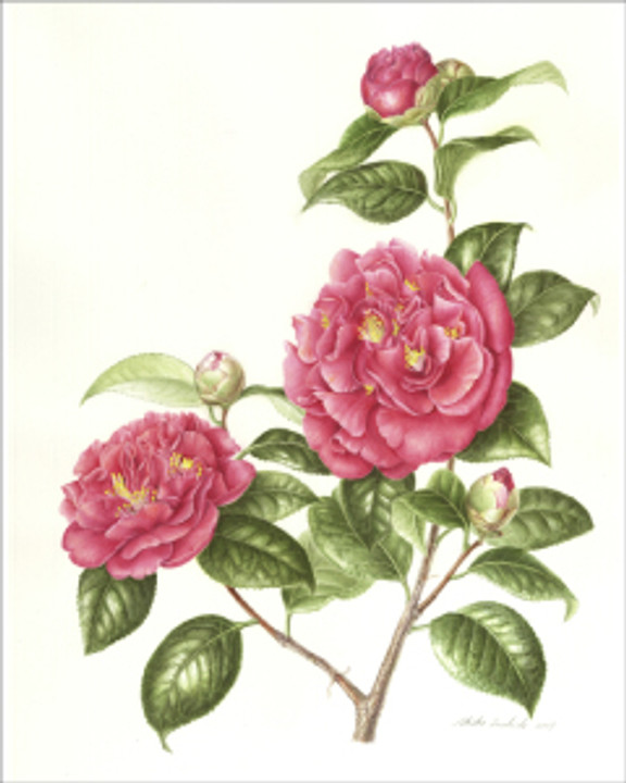 Camellia Japonica, © 2009, Akiko Enokido