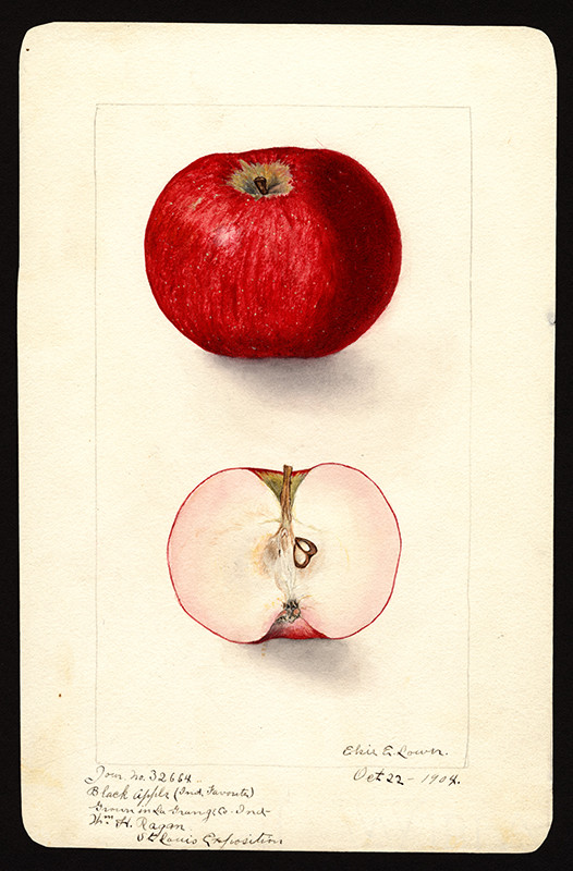 Malus domestica, Black Apple or Indiana Favorite, watercolor by Elsie Lower (born 1882), 1904. Geographic location: La Grange County, Indiana. U.S. Department of Agriculture Pomological Watercolor Collection. Rare and Special Collections, National Agricultural Library, Beltsville, MD 20705