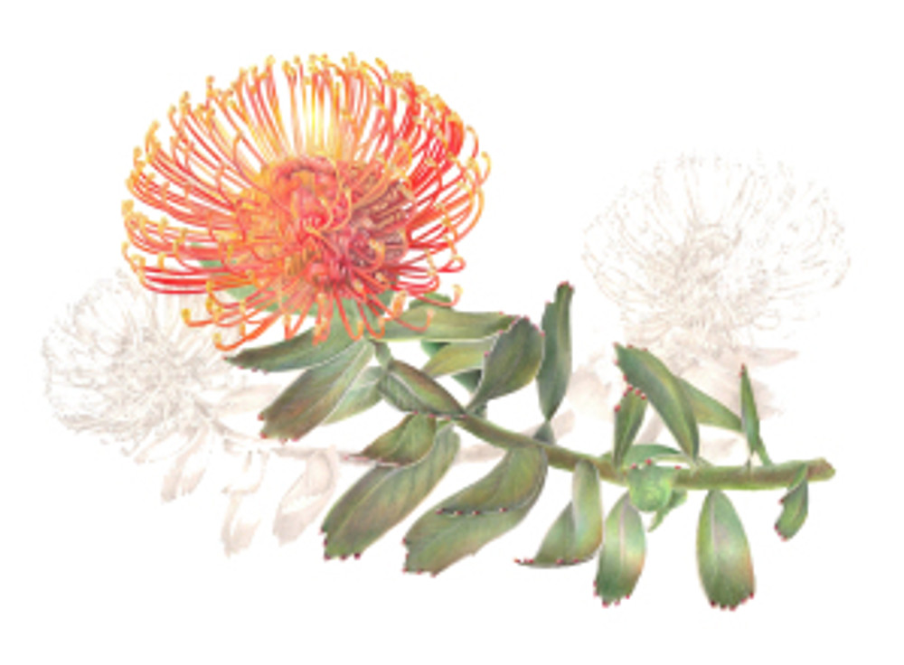 Leucospermum cordifolium, Pincushion protea, colored pencil by Estelle DeRidder, © 2015, all rights reserved.