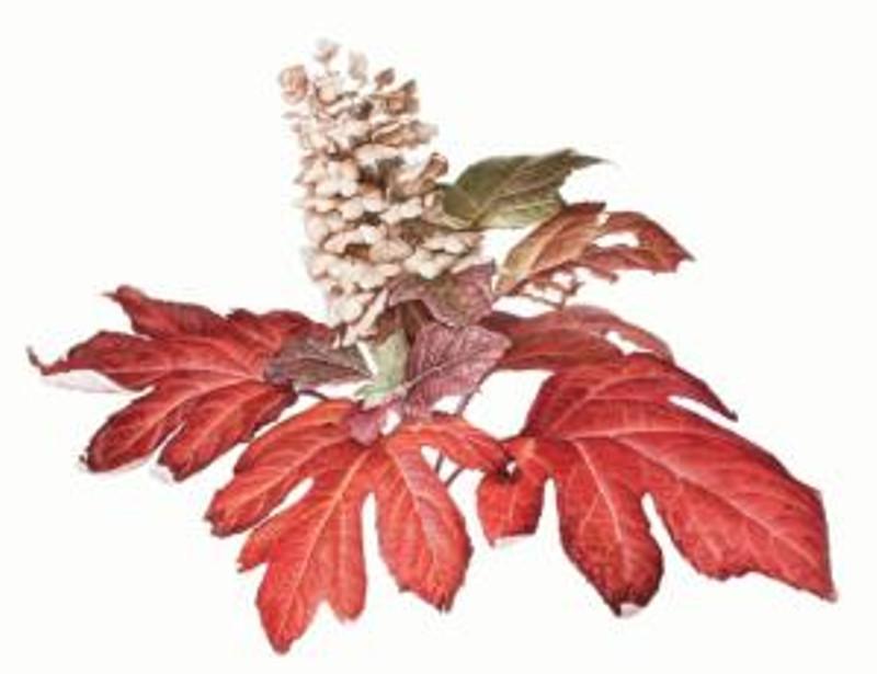 Susan Sapanara, Hydrangea quercifolia, Crimson Collar, watercolor on paper, © 2014, all rights reserved.