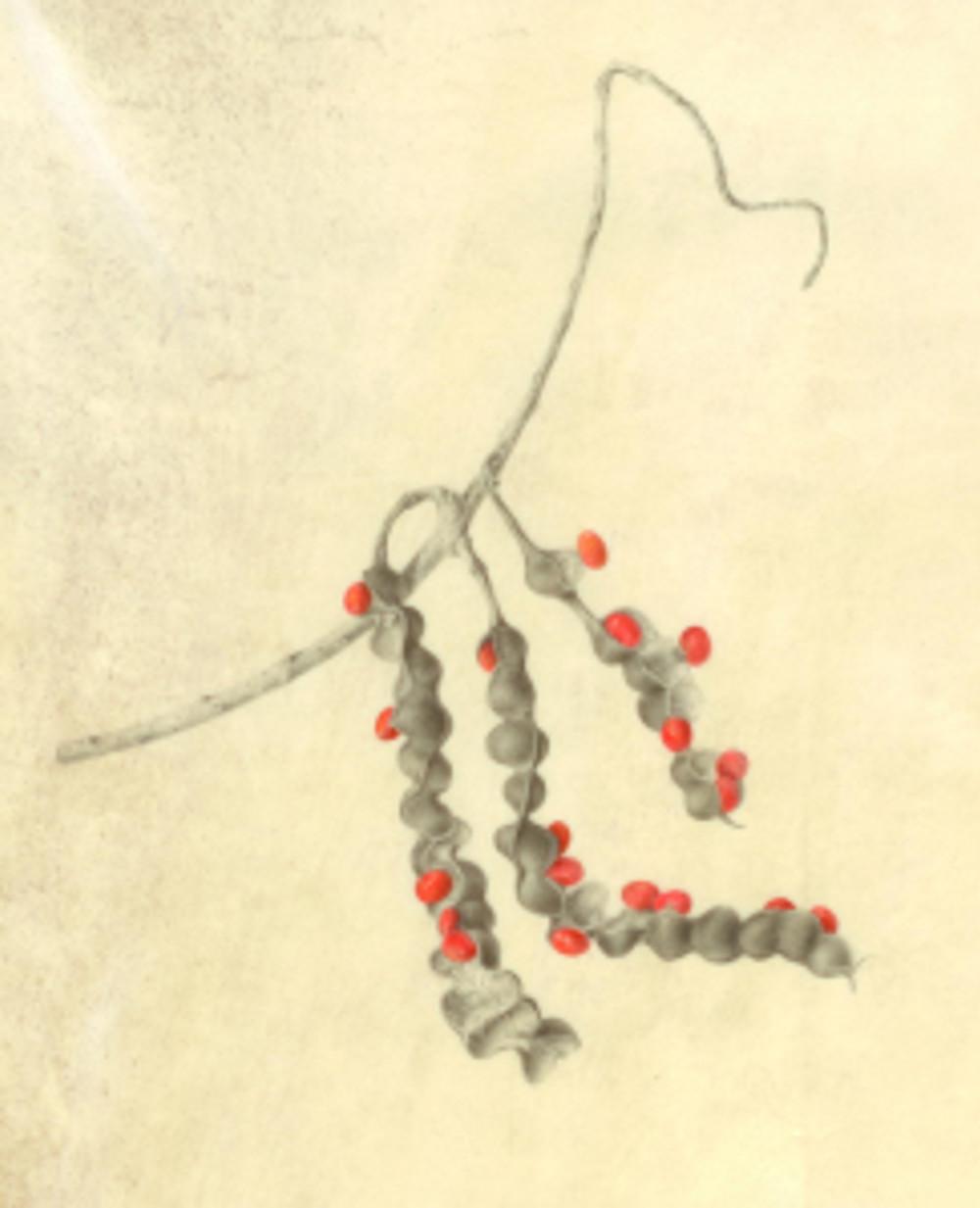 Erythrina sp., Coral Tree Seeds.