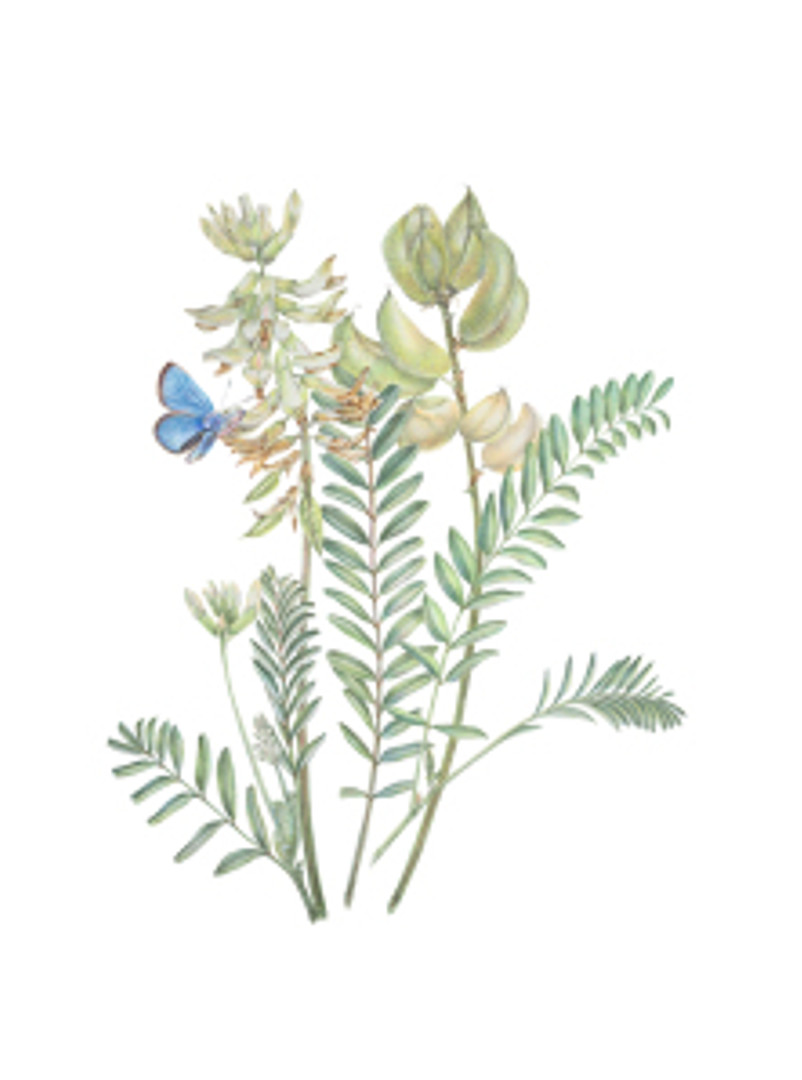 Astragalus trichopodus with Glaucopsyche lygdamus palosverdesensis, Common names: Locoweed with Palos Verdes Blue Butterfly. Watercolor by Estelle De Ridder, © 2014, all rights reserved.