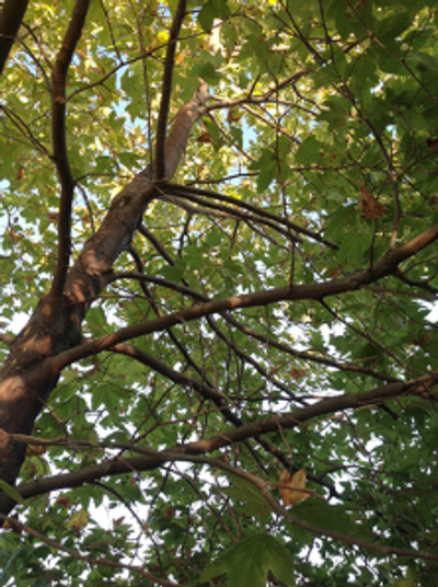 Looking up into the canopy of Platanus racemosa, or Western Sycamore. Photo by Deborah Shaw, 2014.