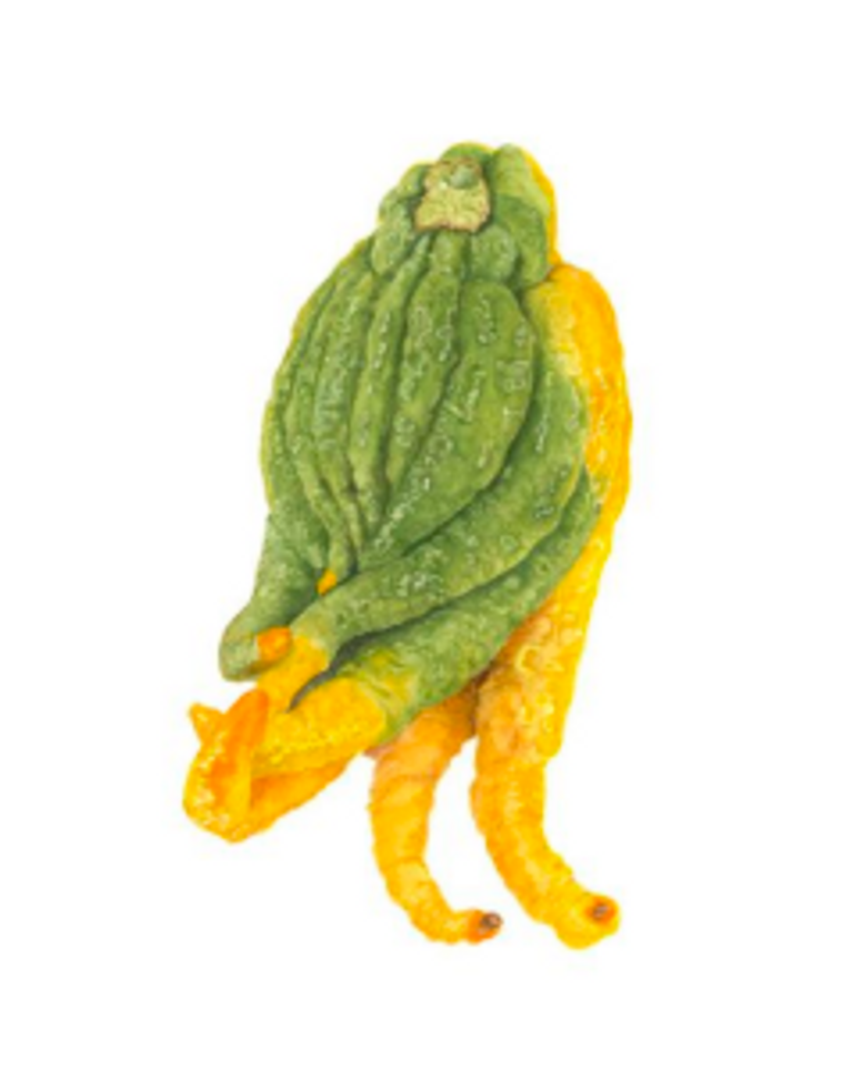 """Sally Jacobs' """"Buddha's Hand (Lemon Fingers) Watercolor,"""" 19x16. Part of Sally Jacobs' """"Sundays at the Farmers Market"""" exhibition at the TAG Gallery in Los Angeles."""