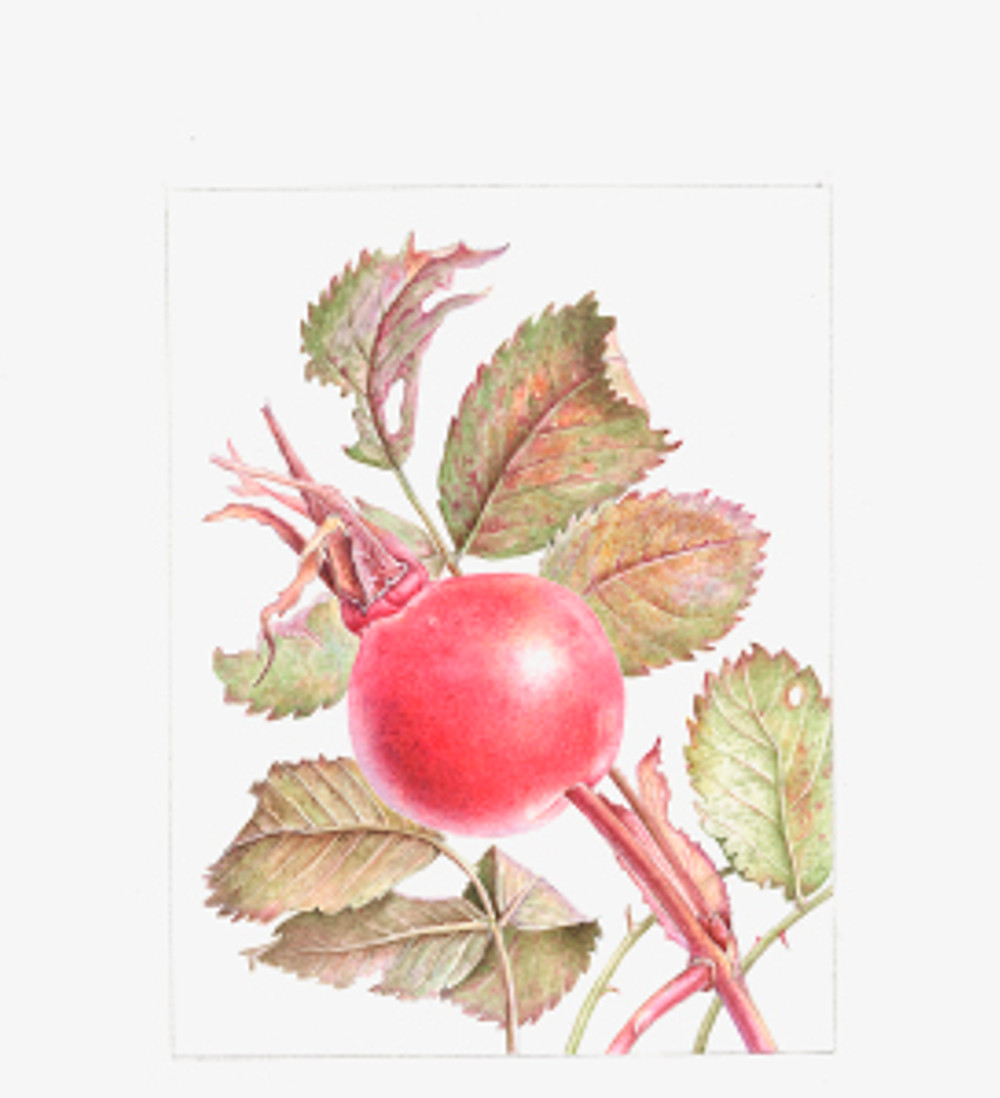 Rosa canina, Rose Hips, watercolor, © 2010, Margaret Best, all rights reserved.