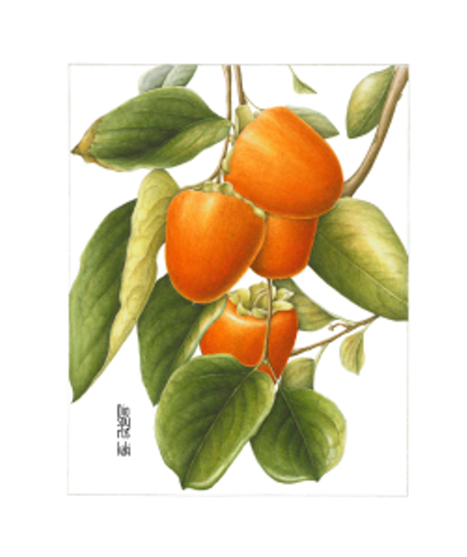 Persimmons, watercolor on paper, Gilly Shaeffer, © 2014, all rights reserved.