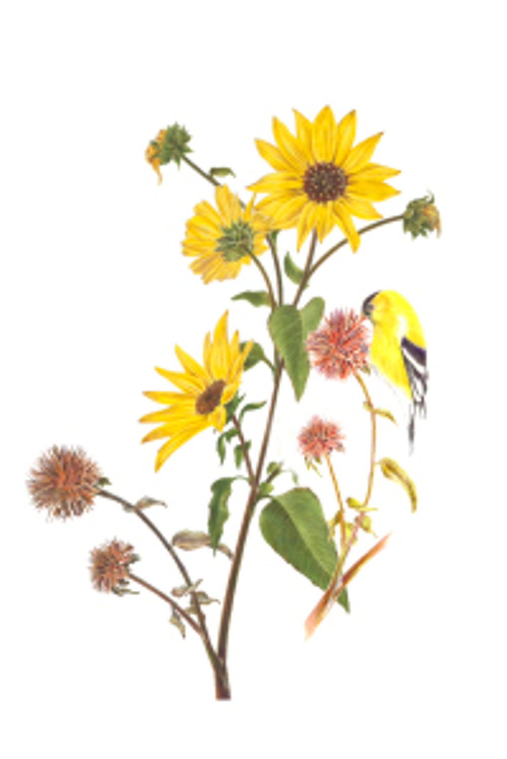 Estelle DeRidder, Helianthus annuus (annual sunflower) with Spinus tristis (American goldfinch), © 2015, all rights reserved.