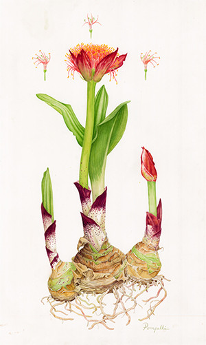 Lisa Pompelli, Scadoxus puniceus, watercolor, © 2014, all rights reserved.