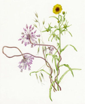 Dichelostemma volubile and Madia elegans. Watercolor © Joan Keesey, all rights reserved.