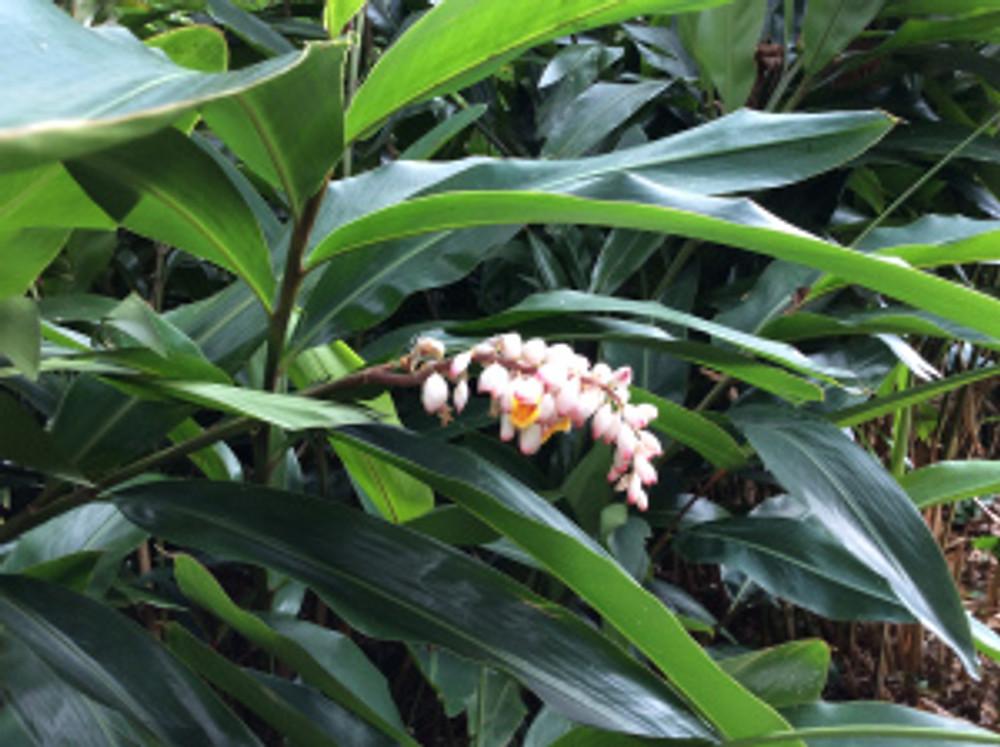 Alpinia zerumbet. Shell ginger. Lyon Arboretum, Manoa Valley, Honolulu, HI. Photographer: Arillyn Moran-Lawrence, © 2017.