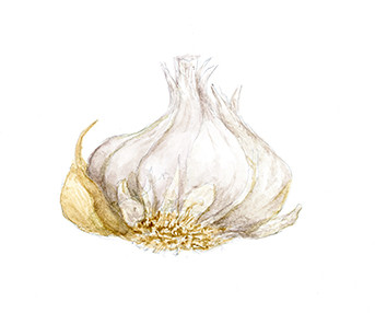 Watercolor of garlic, Tania Norris, © 2021