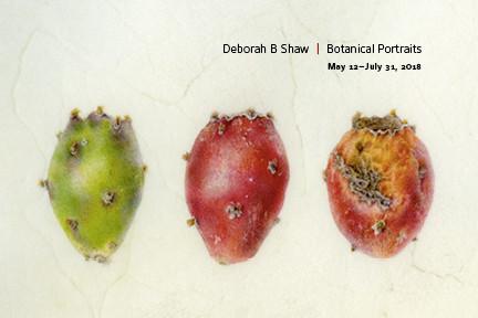 "Opuntia spp., Fruit, Prickly Pear ""Tunas,"" Watercolor on calfskin vellum, © 2016, Deborah Shaw, dbshawstudios.com Digital image protected by Digimarc."