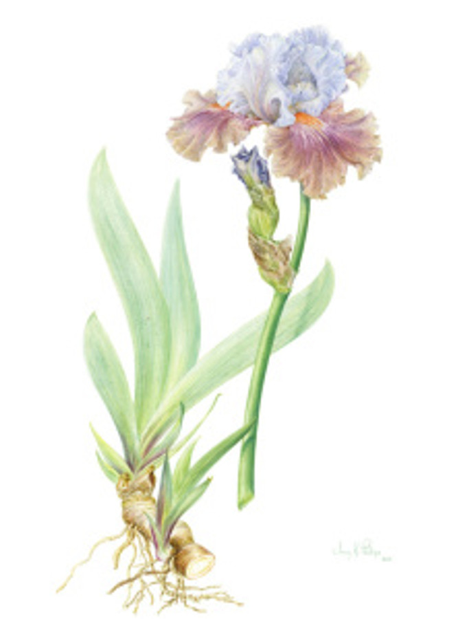 Hybrid Bearded Flag Iris, watercolor on vellum and in the artist's private collection. © 2015 Jenny Phillips, all rights reserved.