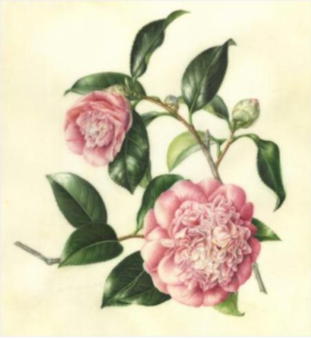 Variegated Camellia, by Akiko Enokido