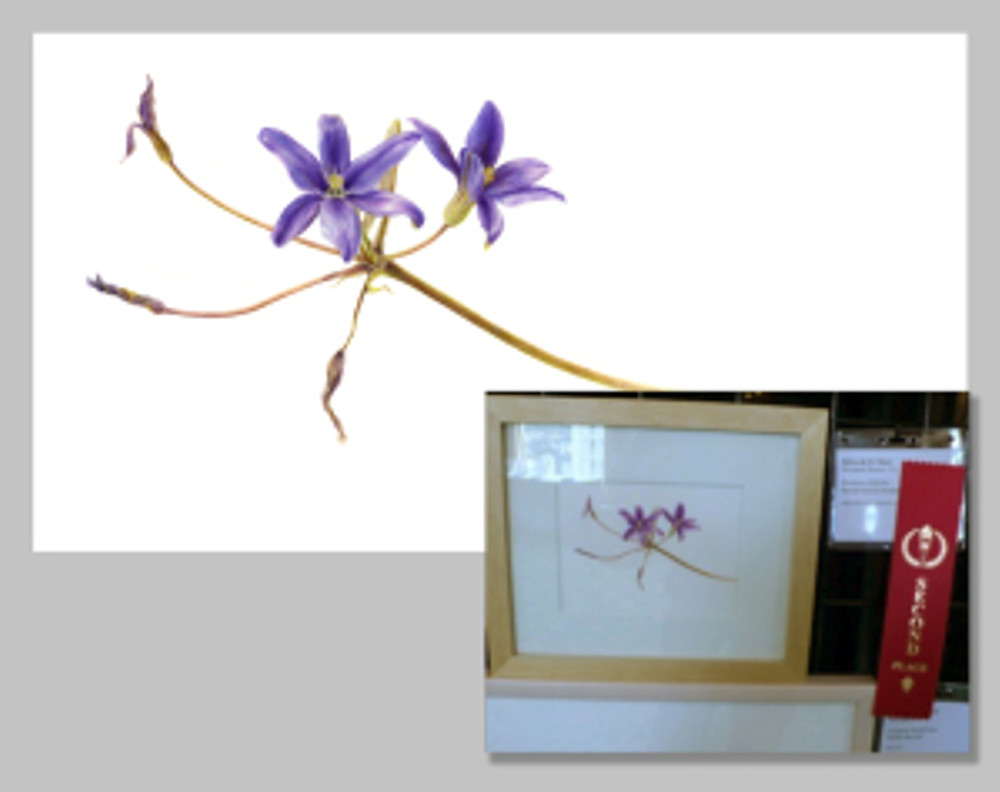 Thread-leaved Brodiaea, Second Place by Deborah Shaw