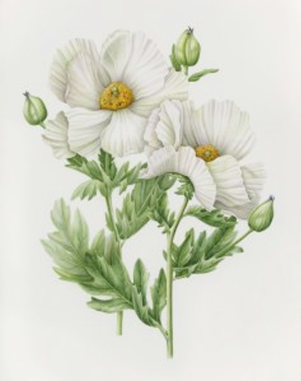 Romneya coulteri, watercolor on paper by Joan Keesey, © 2016, all rights reserved.