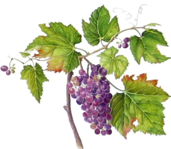 """""""Vitis vinifora,"""" Grapes, watercolor by Suzanne C. Kuuskmae, © 2013, all rights reserved."""