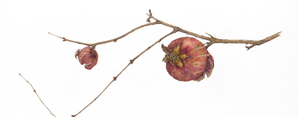 Laurel Tucker Krishock, Punica granatum, In Winter
