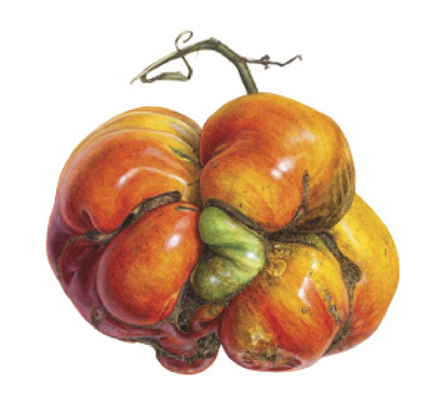 Solanum lycopersicum, Heirloom Tomato, Watercolor on paper, © Asuka Hishiki