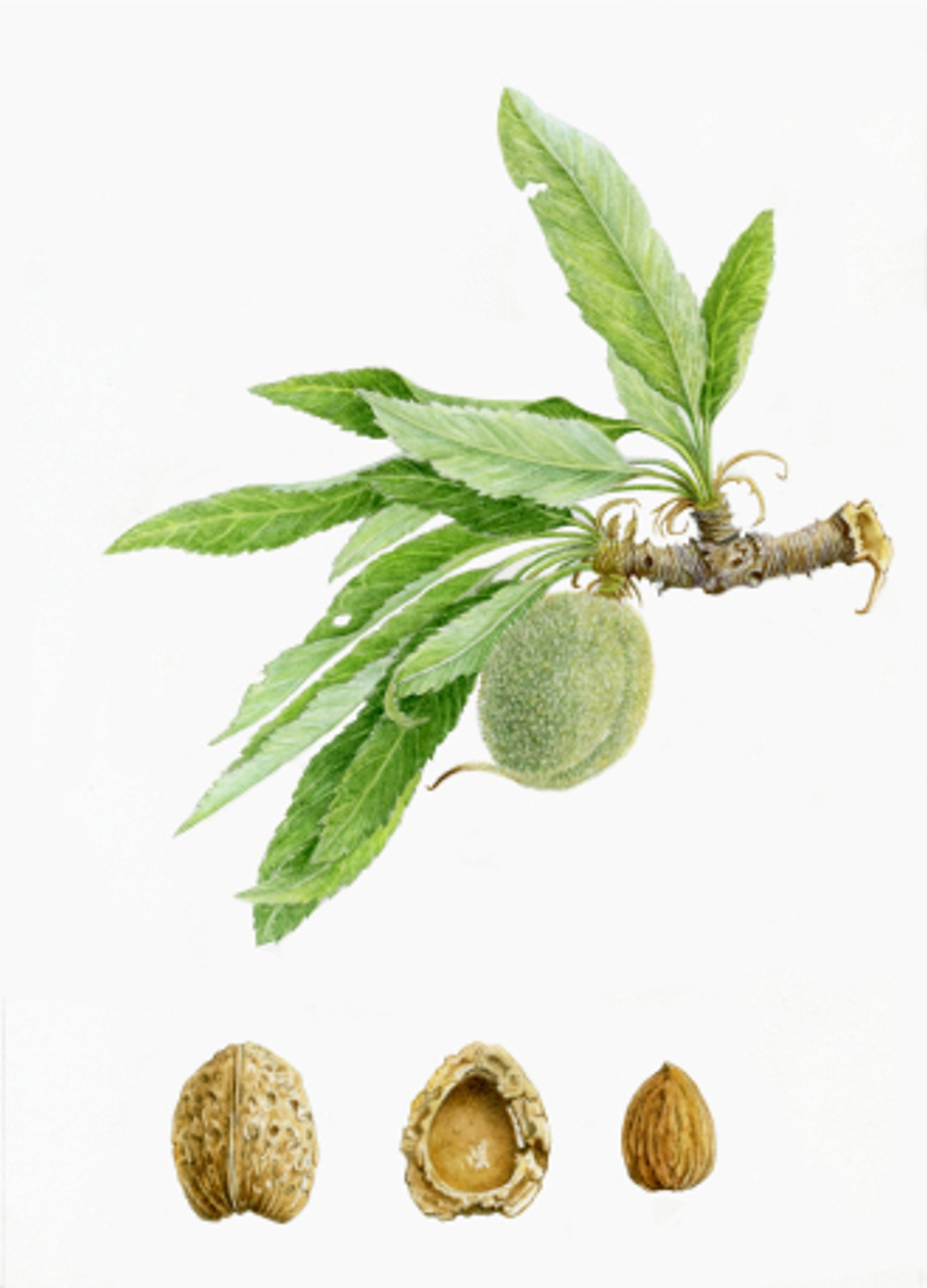 Prunus dulcis, Almond, watercolor by Margaret Best, © 2016, all rights reserved.