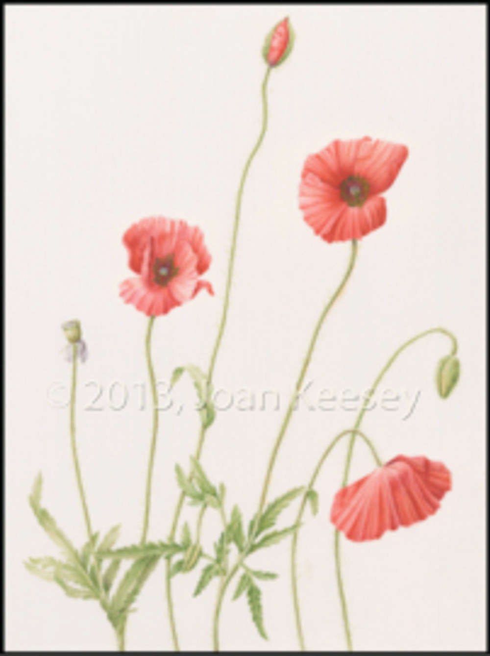 Common Poppy, Papaver rhoras, watercolor by Joan Keesey, © 2013, all rights reserved.
