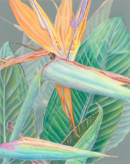 Kathie Miranda, Strelitzia spp., Bird of Paradise, colored pencil on film. © 2016.