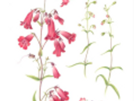 """Filoli's 20th Annual Botanical Art Exhibition: """"A Palette of Flowers"""""""