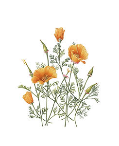 Gilly-Shaeffer-Eschscholzia-californica.