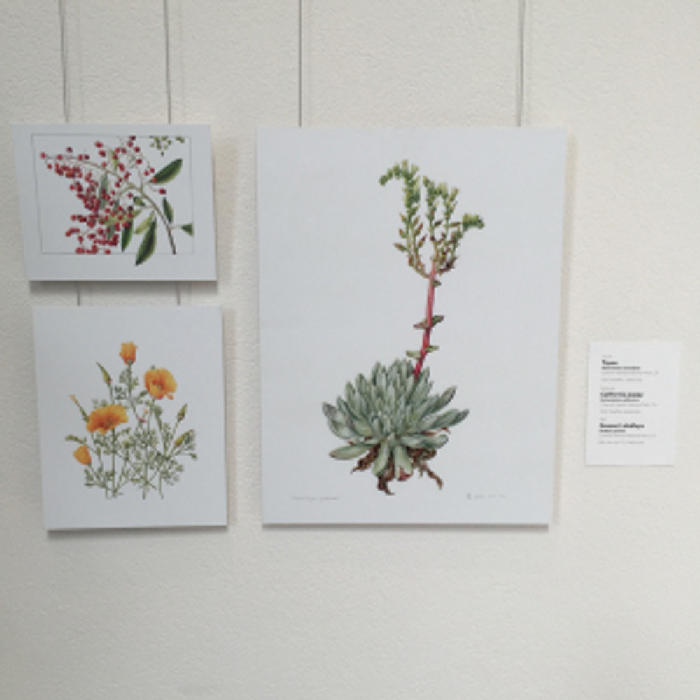 Gallery wall showing Dudleya greenei by Ellie Tu; and California Poppy and Toyon Berries by Gilly Shaeffer. © 2016 by the artists, all rights reserved. Photo by Keith Fisher, © 2016.