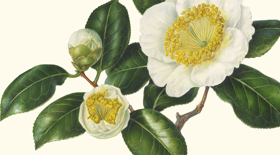 Akiko Enokido 'Otahaku' Higo Camellia