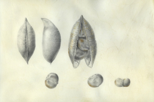 """""""Castanospermum australe,"""" Blackbean, or Moreton Bay Chestnut, seed pod and seeds, Graphite and Watercolor on Vellum by Deborah B. Shaw, © 2013, all rights reserved."""