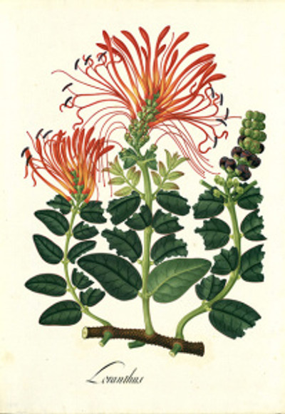 """Artwork from the """"Visual Voyages"""" exhibition at The Huntington Library, Art Collections and Botanical Gardens.  José María Carbonell, Loranthus, Royal Botanical Expedition to the New Kingdom of Granada led by José Celestino Mutis (1783–1816), tempera on paper, approx. 21¼ × 15 in. Archivo del Real Jardín Botánico- CSIC (Madrid)."""