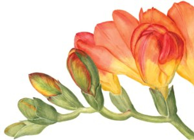 Watercolor by Sally Jacobs, © 2014, all rights reserved.