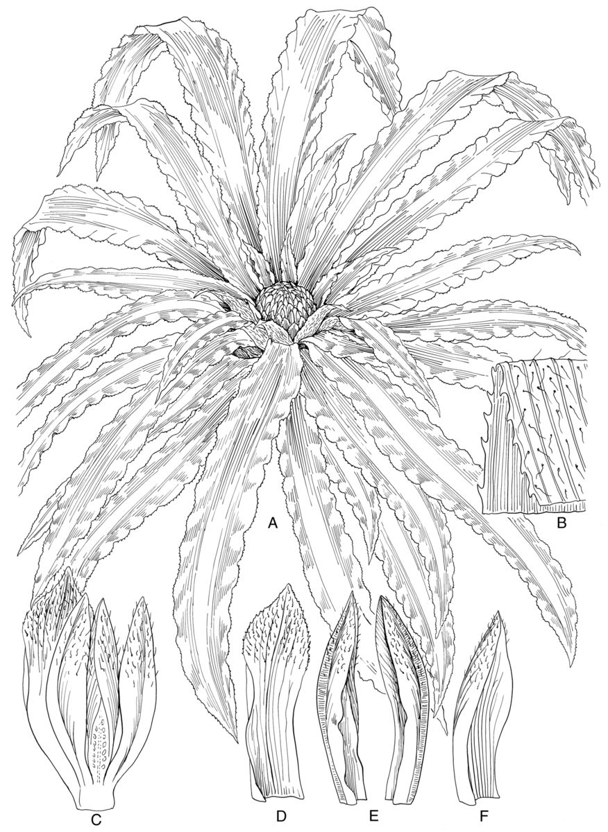 Illustration of Navia aliciae, named for Alice Tangerini. During her illustration, she found new characteristics which separated it from its closest relative.