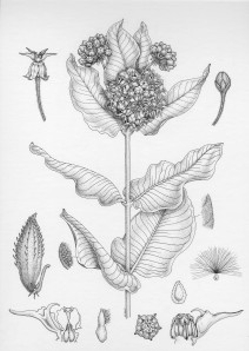 Asclepias speciosa, Lesley Randall, pen and ink on illustration board, © 2014.