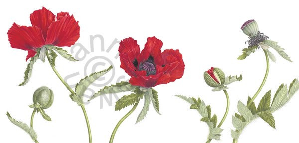 Oriental Poppies, coloured pencil by Ann Swan, 36 x 75 cms. © 2013, all rights reserved.