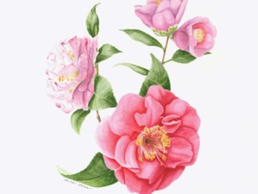 It's Camellia Time for BAGSC at Descanso Gardens!