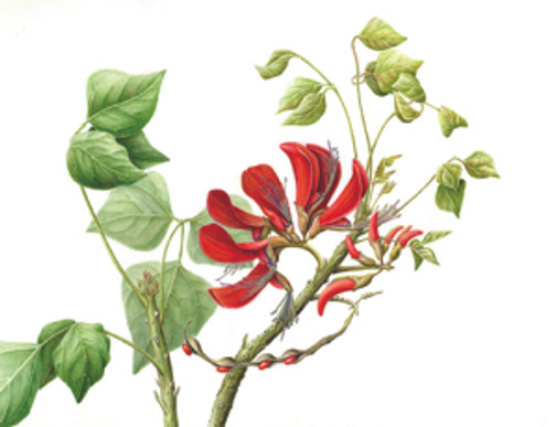 Erythrina caffra, Coral Tree, original watercolor by Joan Keesey, © 2015, all rights reserved.