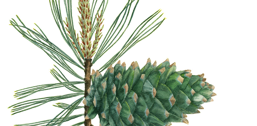Natalia Alatortseva Pinus koraiensis
