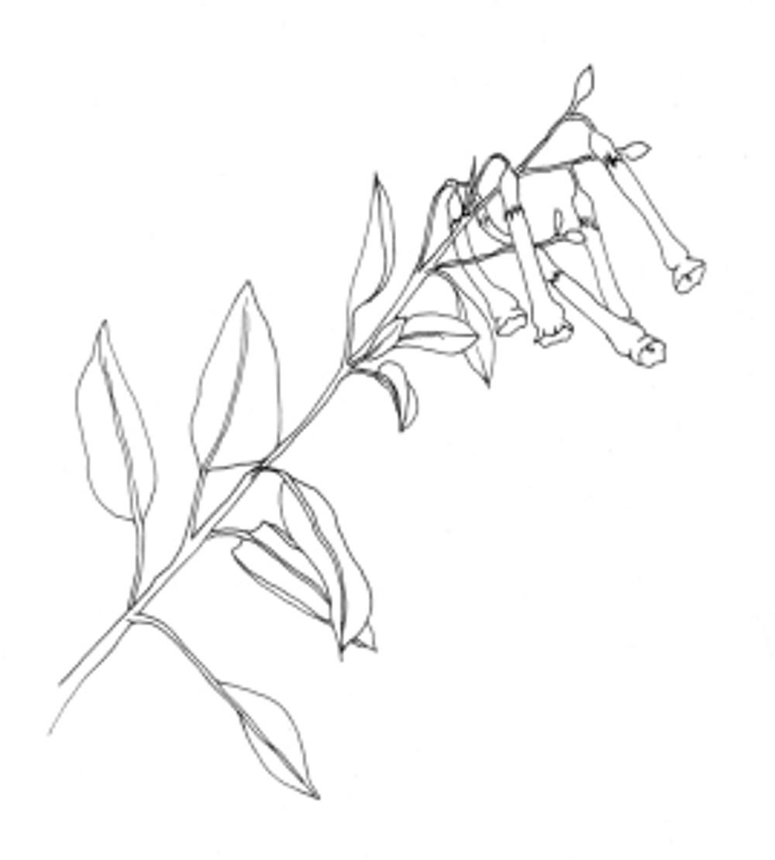 Deborah Shaw, pen sketch of branch of Nicotania glauca  Graham (Tree tobacco), an invasive species in California. © 2014, Deborah B. Shaw