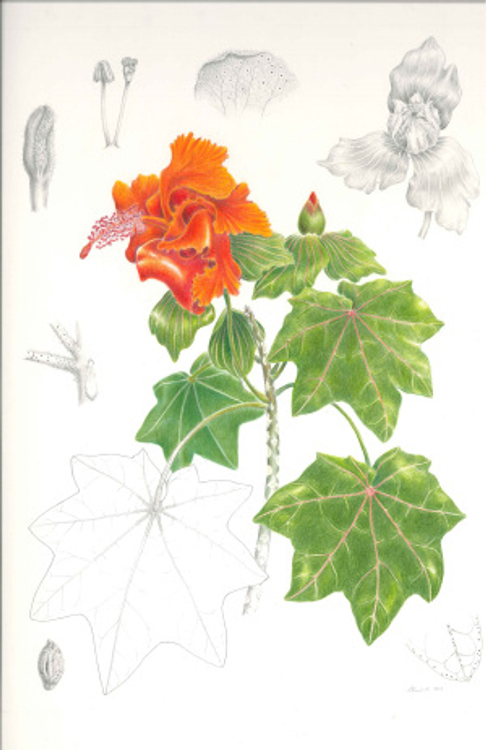 Kokia drynarioides, Hau hele 'ula. Lesley B Randall, color pencil and graphite on cold press illustration board. Scale 1:1 and various for enlarged details, © 2015, all rights reserved.