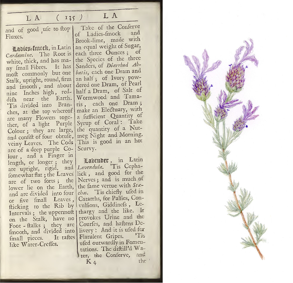 Page 135 from John Pechey herbal, and watercolor of lavender by Tania Norris