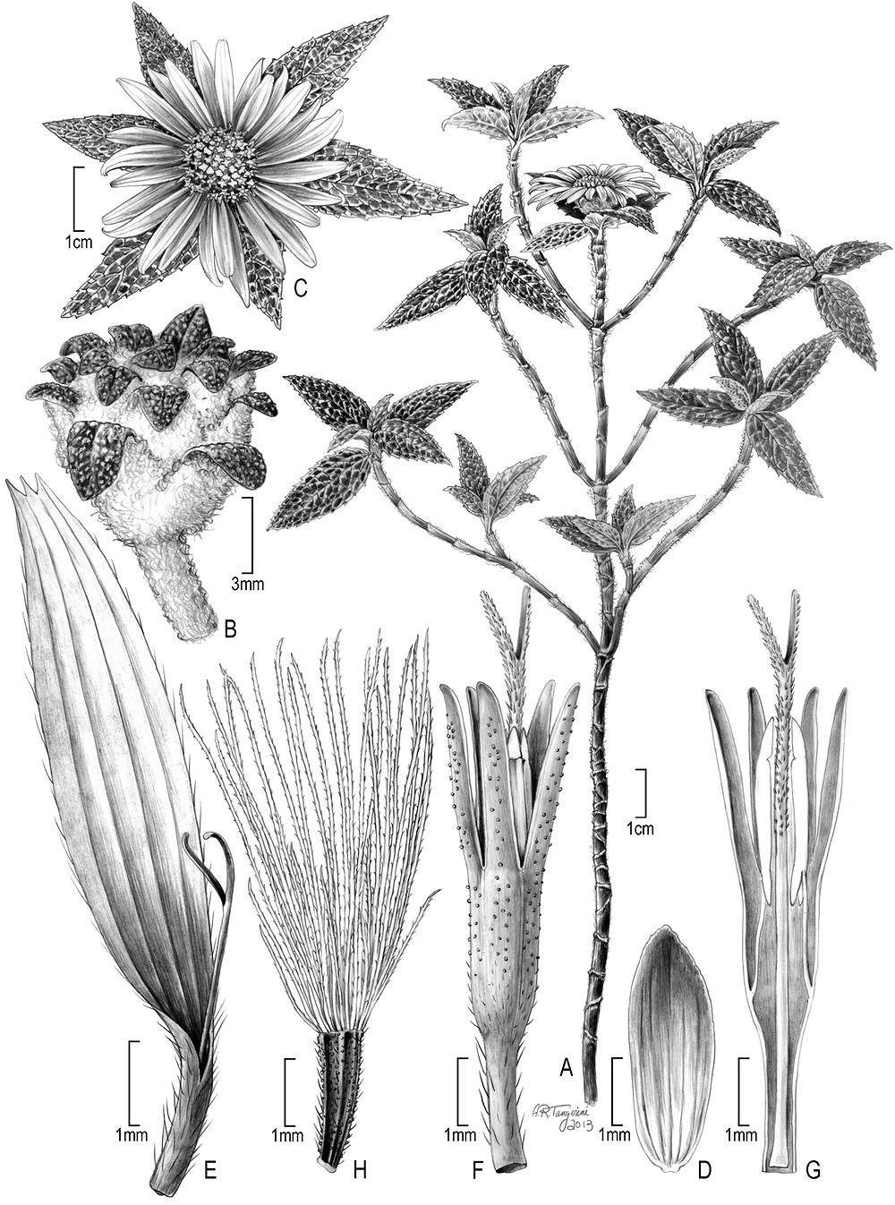Alice Tangerini, illustration of Bishopanthus soliceps H. Rob.: A) habit; B) head in pre-flowering stage; C) flowering head from above; D) involucral bract; E) ray flower; F) disc flower; G) longitudinal view of disc flower; H) achene with pappus.