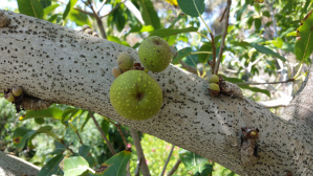 Some figs are cauliflorous, a botanical term for plants which have flowers and fruits growing directly from their main stems or woody trunks rather than from new growth. The word comes from Latin. Caulis means trunk or stem and Flory means flower. Photo by Lesley Randall, © 2017.