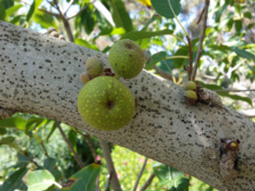 All about the Ficus (Fig) Family