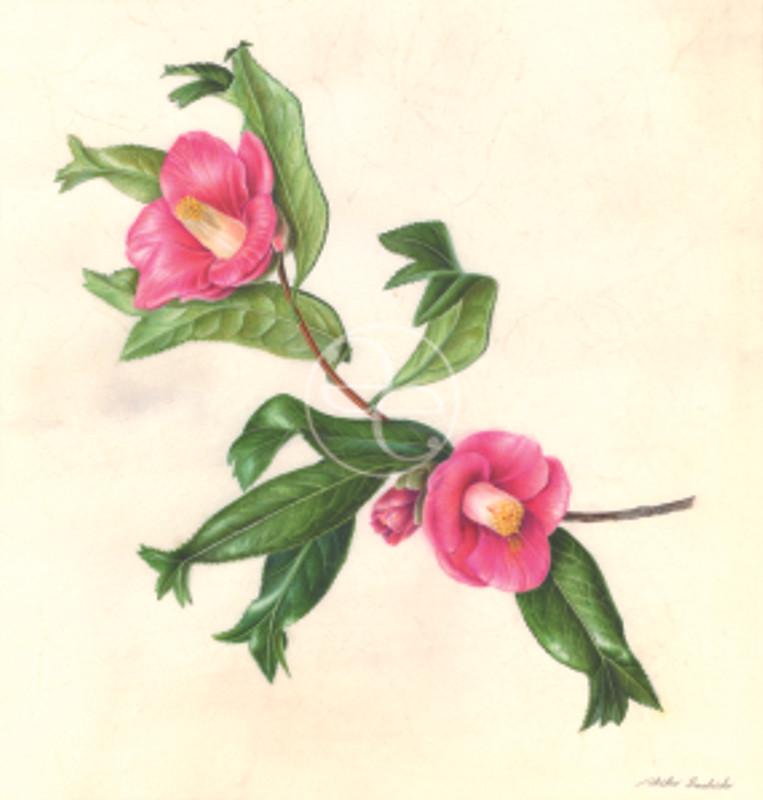 Akiko Enokido, Camellia japonica 'Kingyoba tsubaki', common name, Goldfish Camellia. Watercolor on vellum, © 2014, all rights reserved.